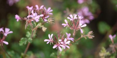 Pelargonium Lavender Lass