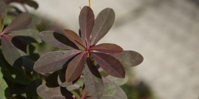 Euphorbia dulcis Chameleon