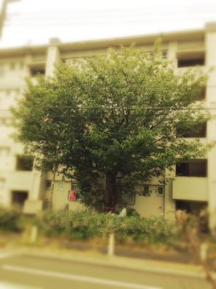jindaisakura1.jpg