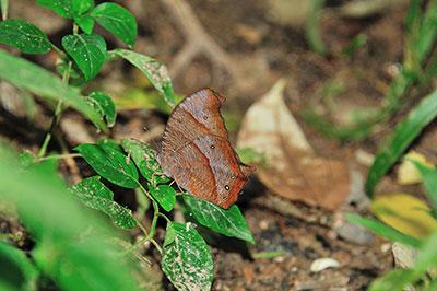 Melanitis phedima ganapati クロコノマチョウ (2)