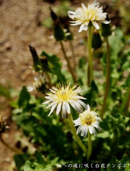 白花タンポポ (457x600)