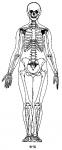 女性の骨格