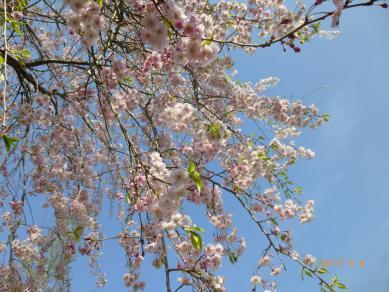 銭淵公園の桜