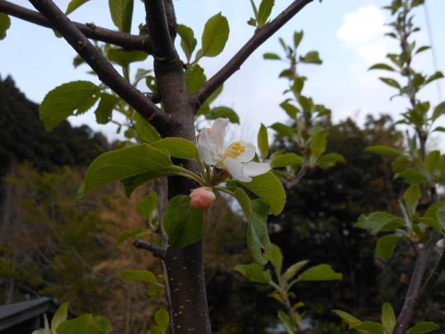咲いたアルプス乙女。