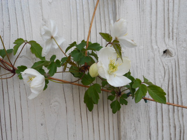 咲いた白寿1。