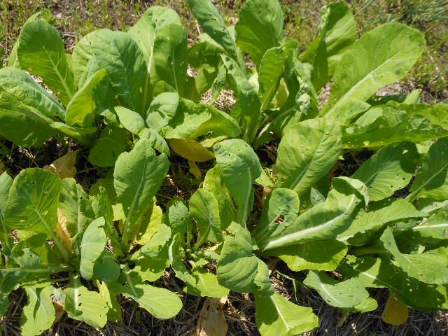 自然栽培小松菜1。