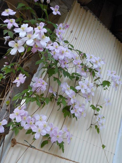 2013年ルーベンス開花1