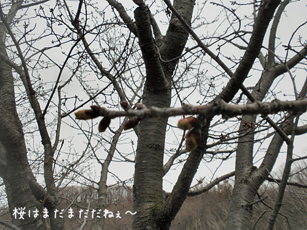 sakura_20130505213126.jpg