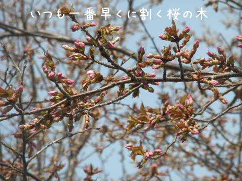 sakura_20130510215313.jpg