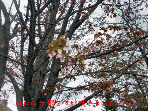 sakura_20130512222444.jpg