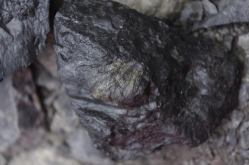 牡蠣の化石