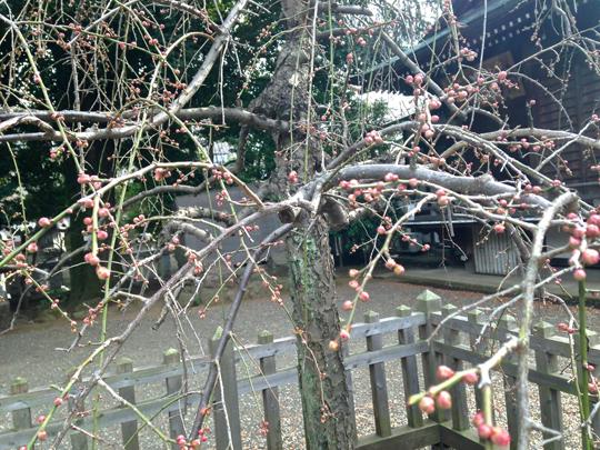 布田天神の梅のアップ