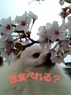 今日の桜_1
