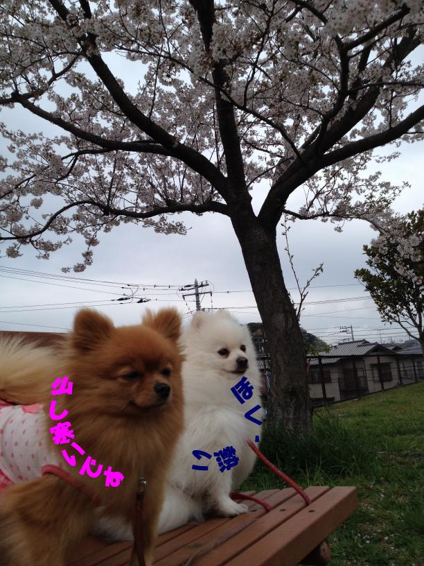 今日の桜_2