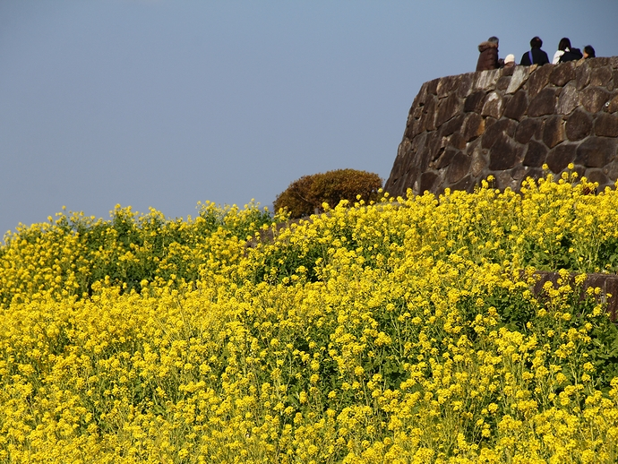 満開の菜の花畑 神奈川・吾妻山公園