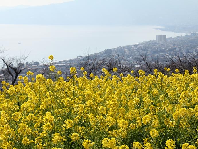 湘南の海と菜の花畑 二宮町