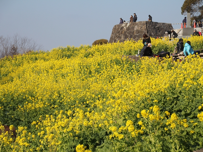 二宮町吾妻山公園 満開の菜の花畑