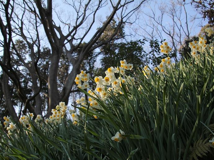 吾妻山公園の水仙(神奈川県二宮町)