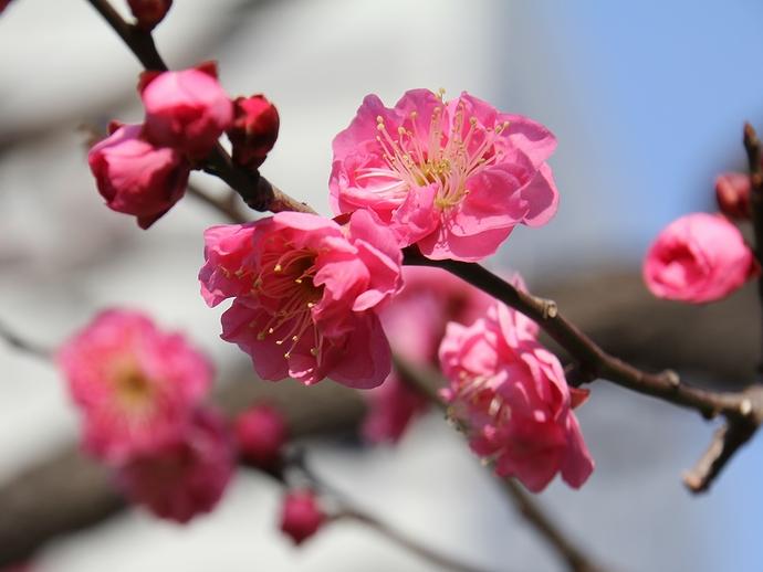 早春を告げる紅梅の花 1月の浜離宮恩賜庭園