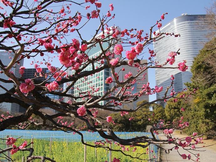 梅と菜の花咲く浜離宮恩賜庭園
