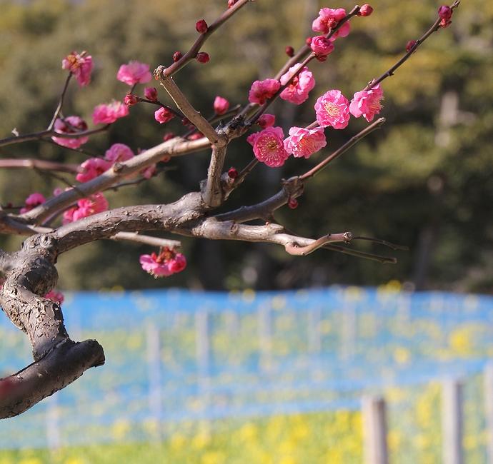 紅梅 菜の花畑をバックに 浜離宮恩賜庭園にて