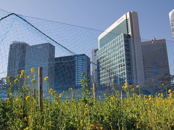 浜離宮 高層ビルをバックに咲き始めの菜の花