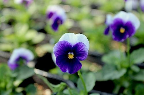 フローラルパワー ディープパープルビーコン ビオラ 花の写真 Viola