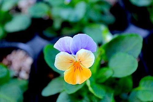 ペニー ピーチジャンプアップ ビオラ Viola 花の写真