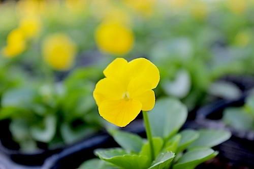 ペニー クリアイエロー Viola ビオラ 花の写真