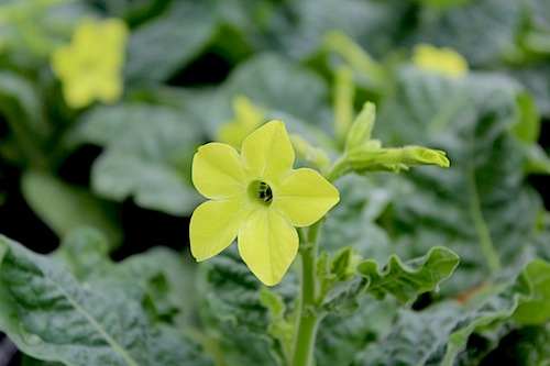 ニコチアナ パヒューム ライム ハナタバコ(Nicotiana alata)