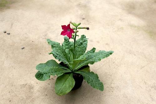 ニコチアナ パヒューム レッド ハナタバコ(Nicotiana alata)