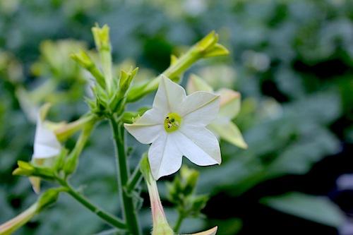 ニコチアナ パヒューム ホワイト(Nicotiana alata)
