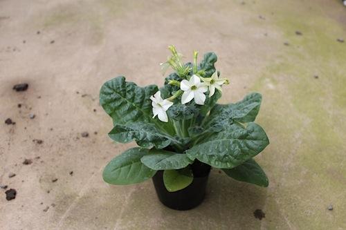 ニコチアナ パヒューム ホワイト 2013.10.3(Nicotiana alata)