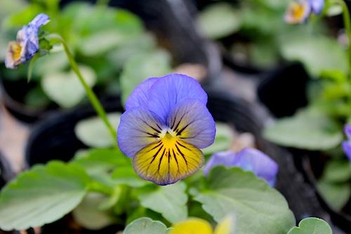 ソルベXP モルフォ Viola ビオラ 花の写真