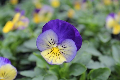 ディープモルフォ パンジー サカタのタネ Viola 花写真
