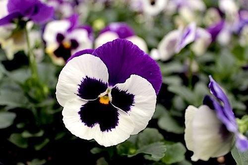デルタ バイオレット&ホワイト パンジー Viola 花写真