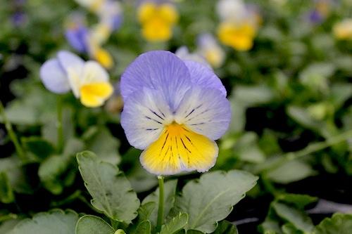 モルフォ パンジー サカタのタネ Viola 花写真
