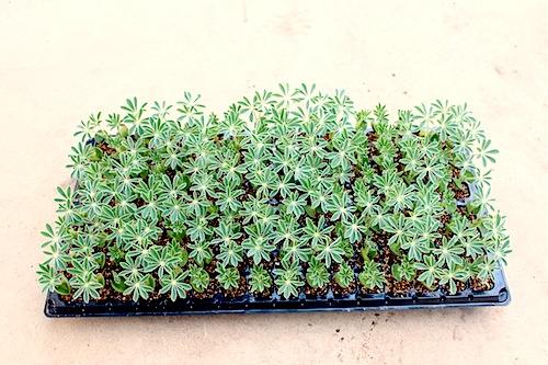 傘咲きルピナス Lupinus hirsutus セル苗 種子発芽
