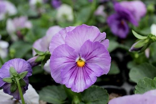 パシオ クリアラベンダー パンジー Viola 花の写真 松原園芸