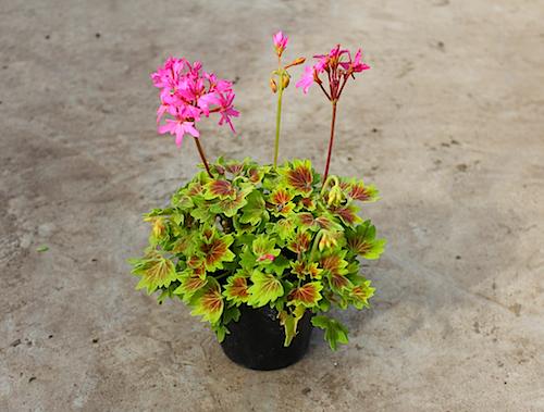 モミジバゼラニウム ピンクファイアー Pelargonium × hortorum