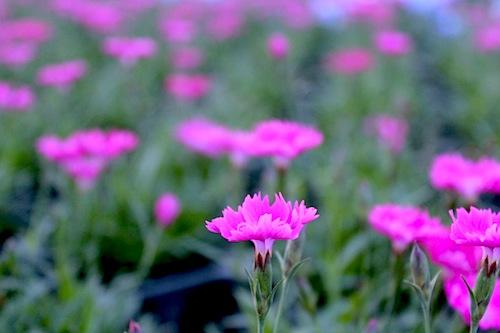 四季咲きナデシコ ダイアンサス Dianthus hybrids  生産 販売 松原園芸 直売