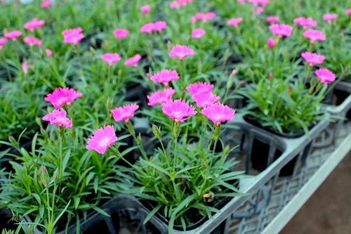 四季咲きナデシコ ダイアンサス Dianthus hybrids
