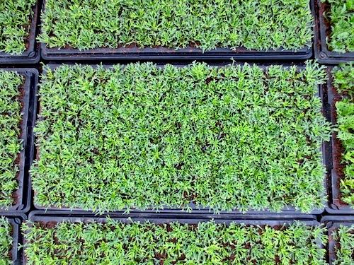 Argyranthemum frutescens マーガレット 挿し芽 松原園芸
