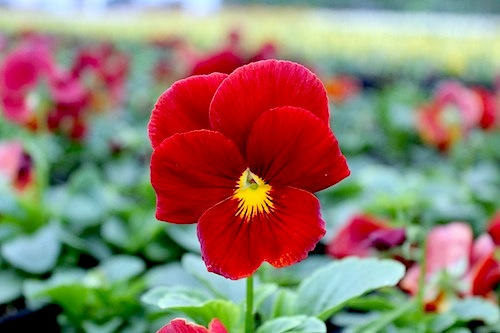 LRアリル クリアスカーレット パンジー Viola 花の写真 松原園芸