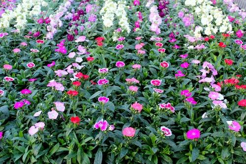 ナデシコ科 Dianthus属 テルスター 苗 松原園芸