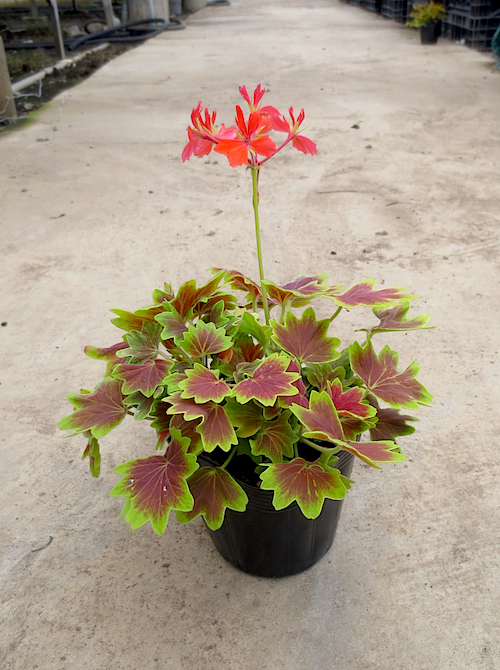 モミジバゼラニウム(Pelargonium × hortorum)松原園芸