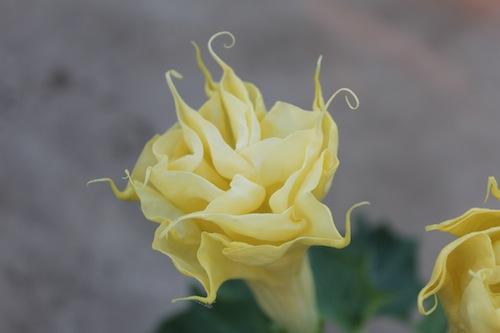 八重咲きダチュラ Datura 松原園芸