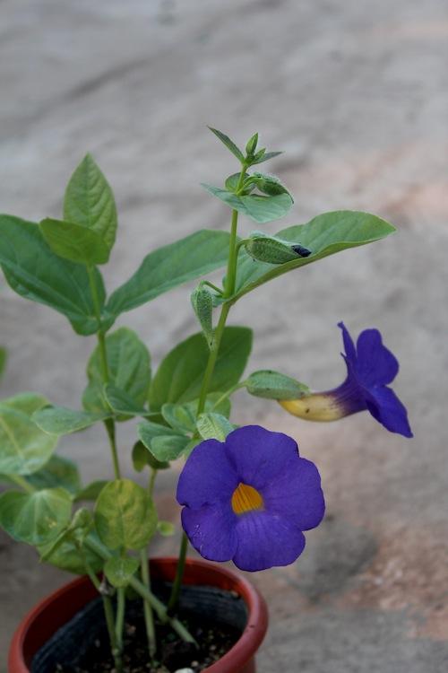 ツンベルギア バッティスコンベイ Thunbergia battiscombei 松原園芸