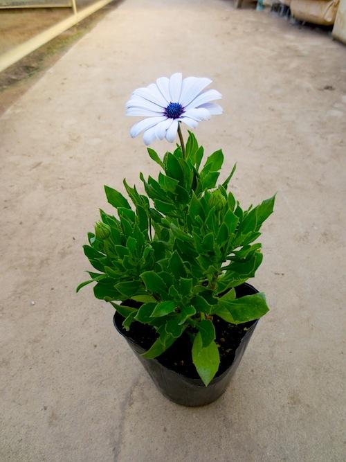 オステオスペルマム Osteospermum 松原園芸 生産