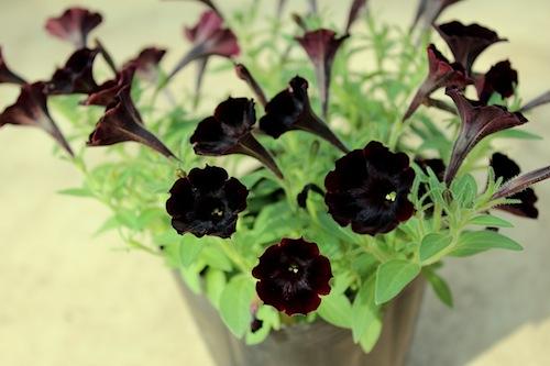 Petunia Black Mini 黒花ペチュニア 松原園芸オリジナル